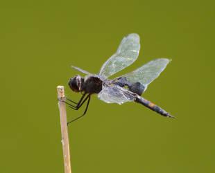 Dragonfly by Cojaro