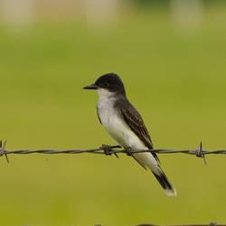 Contemplative Kingbird by Cojaro