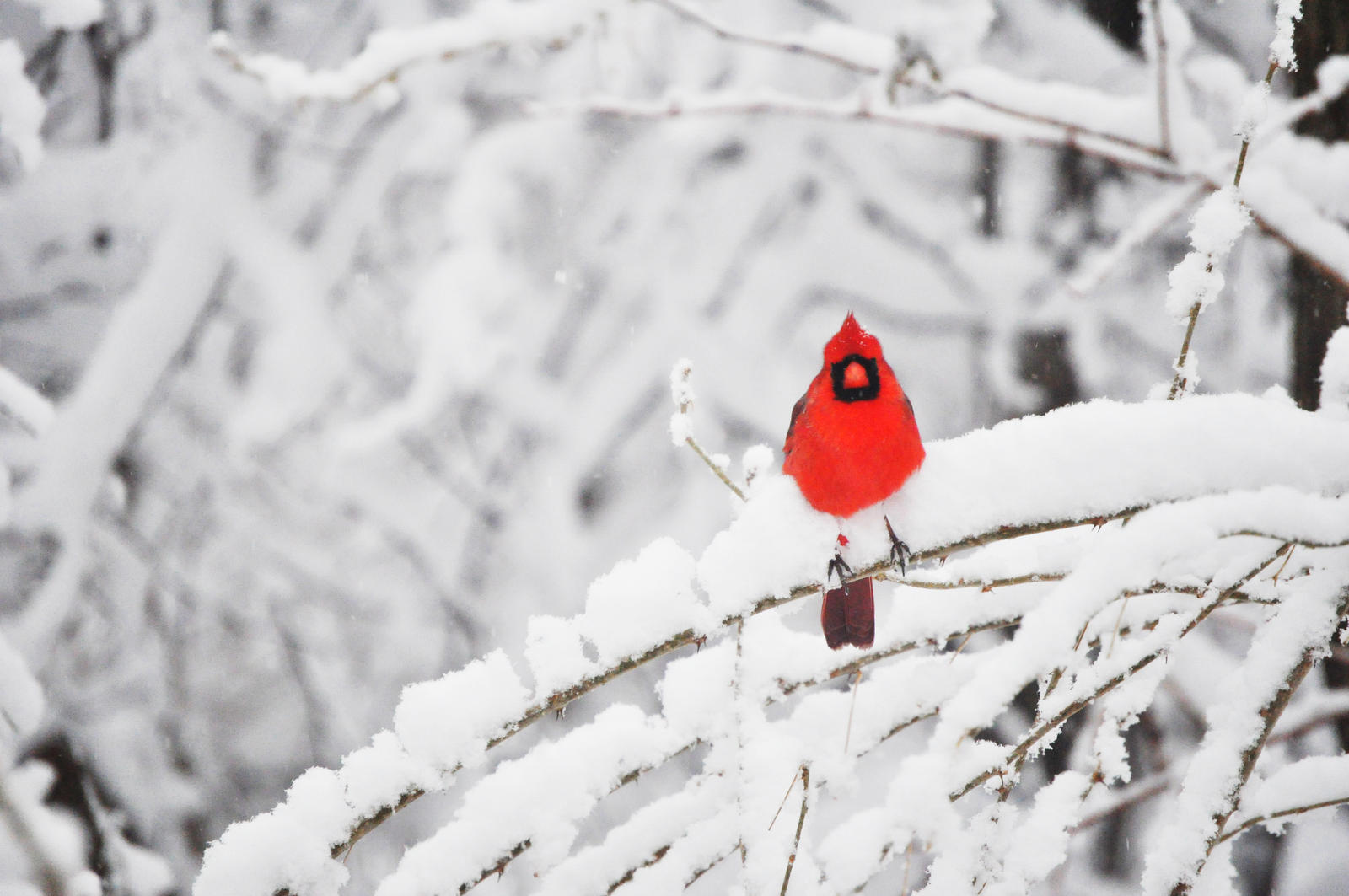 A cardinal in the snow 2 by yobyaxes on deviantart - Pictures of cardinals in snow ...