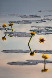 Yellow water lillies by Quincula