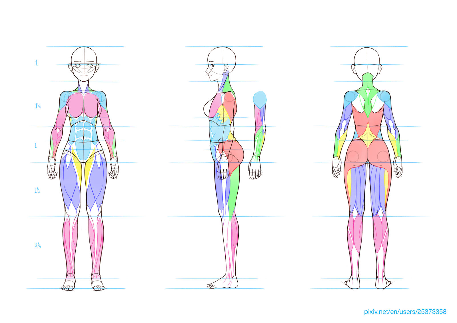 Anatomy and Simple Muscle Guide