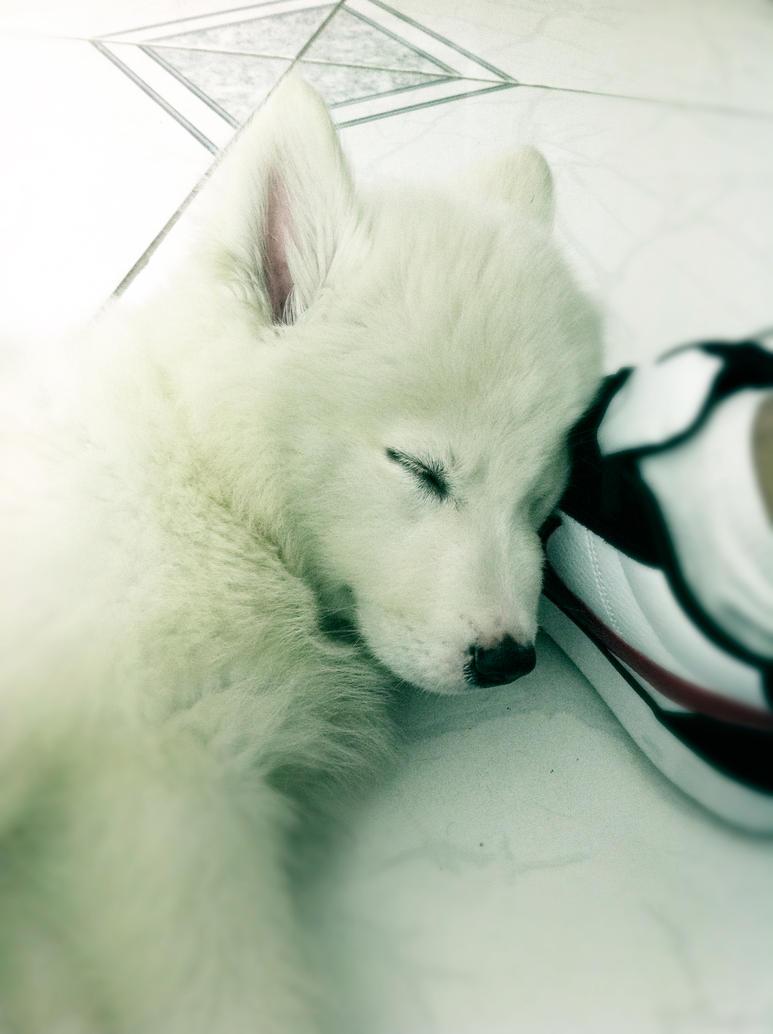 Husky branco - Meu dog by allanppss