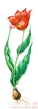 tulipa schrenkii by Laterne-Magica