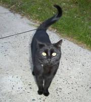Black Cat by AsphyxiaStock
