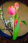 My fovorite tulip