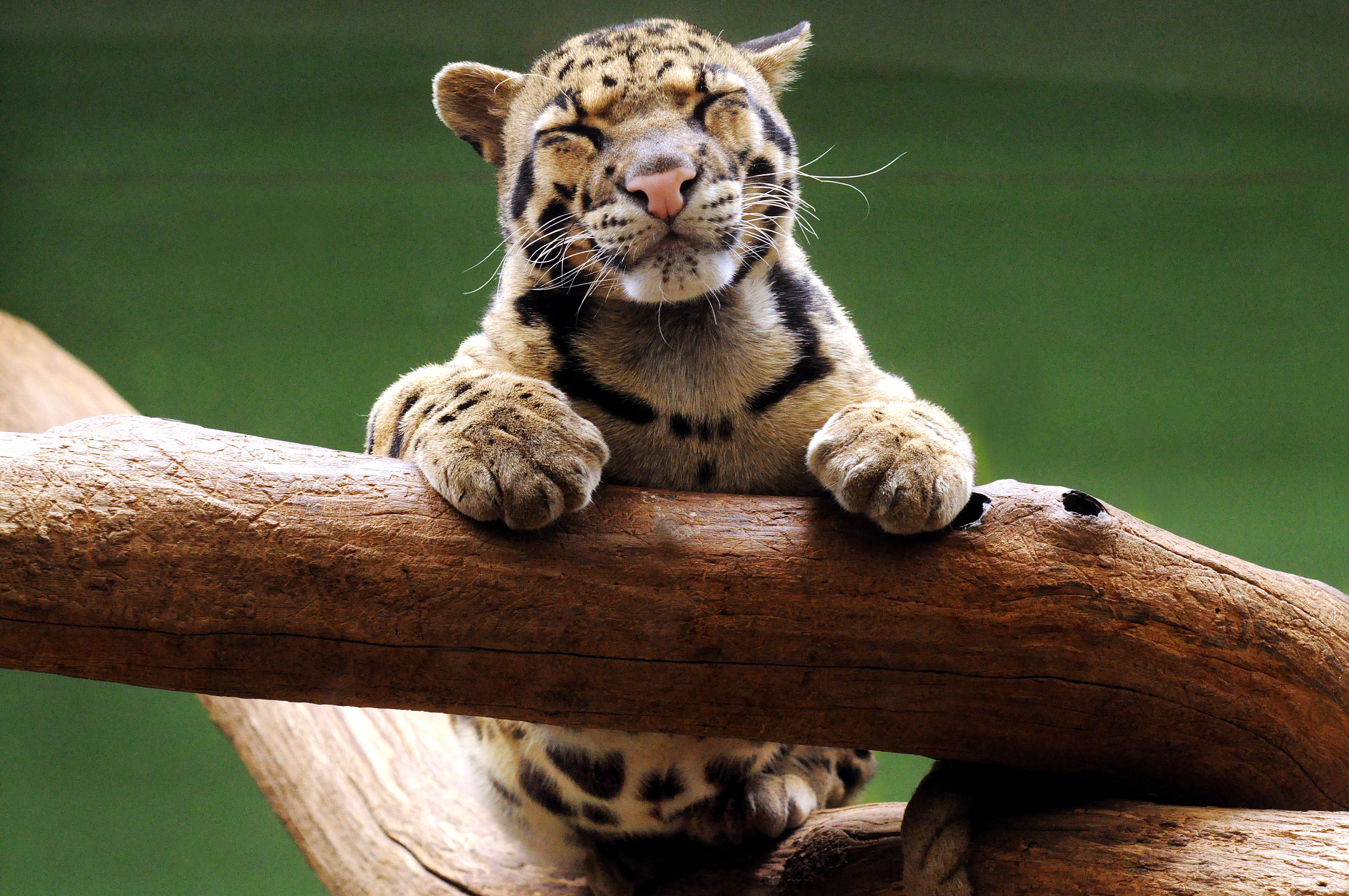 Clouded Leopard by StevenWard