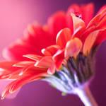 Rose-Tinted by finkycake