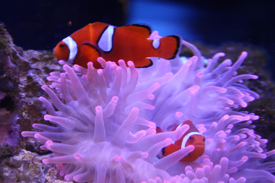 Clownfish and Anemone by Stick-Man-Montage on DeviantArt