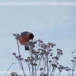 Bullfinch on Yarrow
