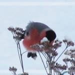 Bullfinch Feeding