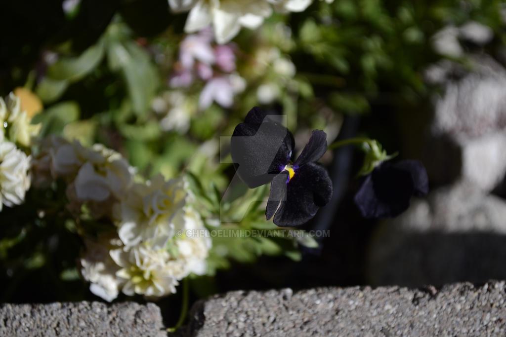 Pansies Flowers by Cheloelimi