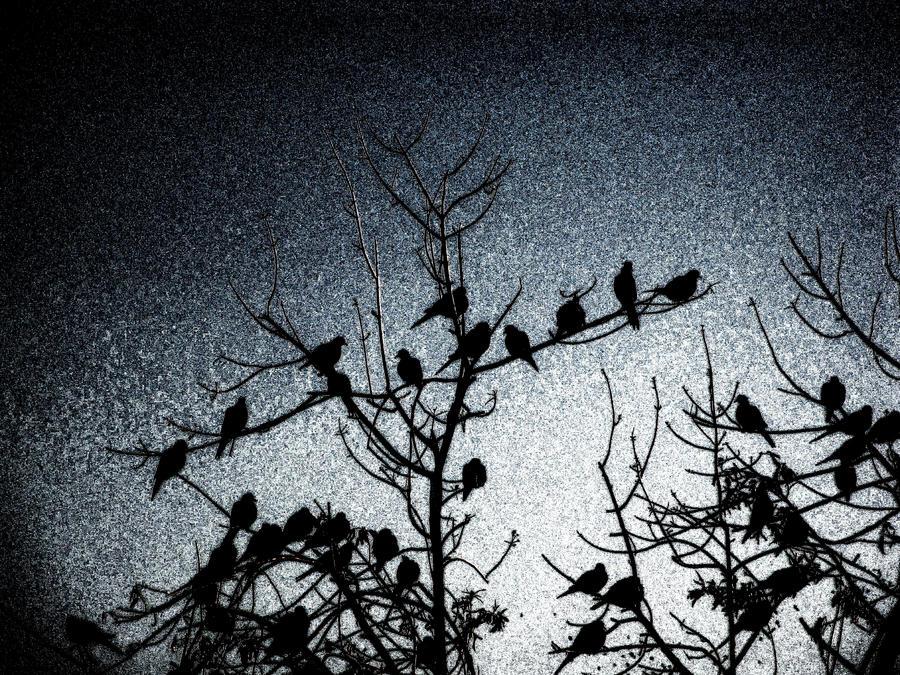 blue-birds... by shotsfiredimagedown