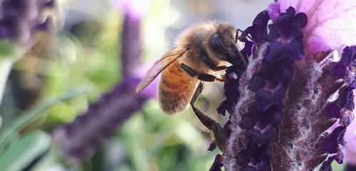 Soft Bee by DarthBloodOrange