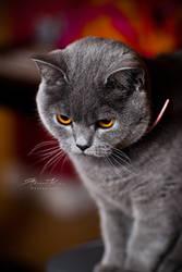 British Shorthair by gk08