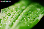 Lucent Designs Wet Leaf Macro
