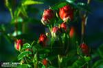 Lucent Designs Love Flower 1 - Rosa Rubiginosa