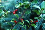 Lucent Designs Holiday Flower - Aquifoliaceae Ilex