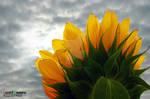 Lucent Designs Proud Flower: Sunflower
