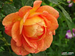 Lucent Designs Royal Flower: Japanese Quince