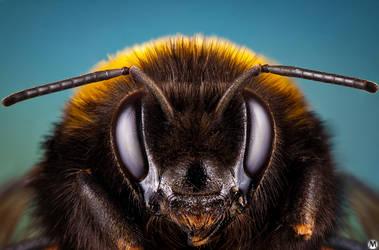 Bumblebee portrait by andreimogan