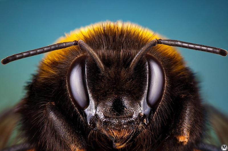 Bumblebee portrait