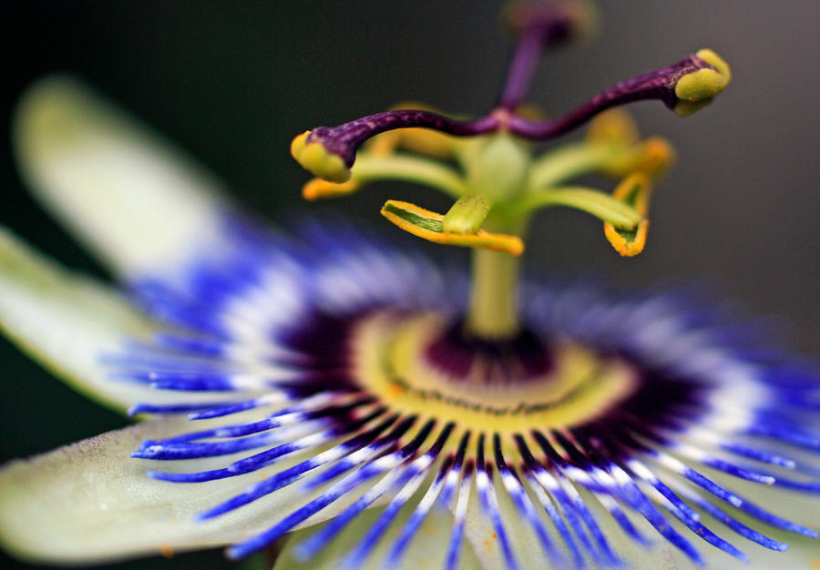 CVECE - Page 7 Passionflower_by_coraloralyn-d4htpau