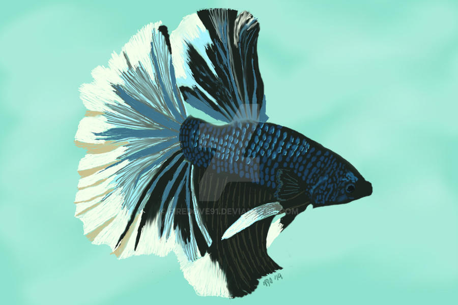 Azul - Metallic Blue Butterfly Halfmoon Betta Fish by ...