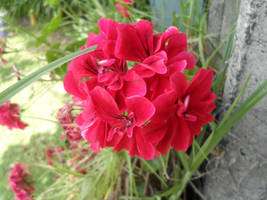 Red flower by Dragnor425