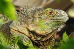 Iguana by LiandriVelzel