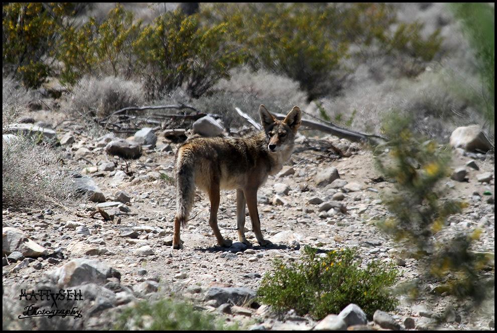 Desert coyote pictures - photo#27