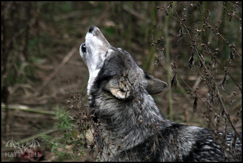 Dakota Howls by DragonWolfACe