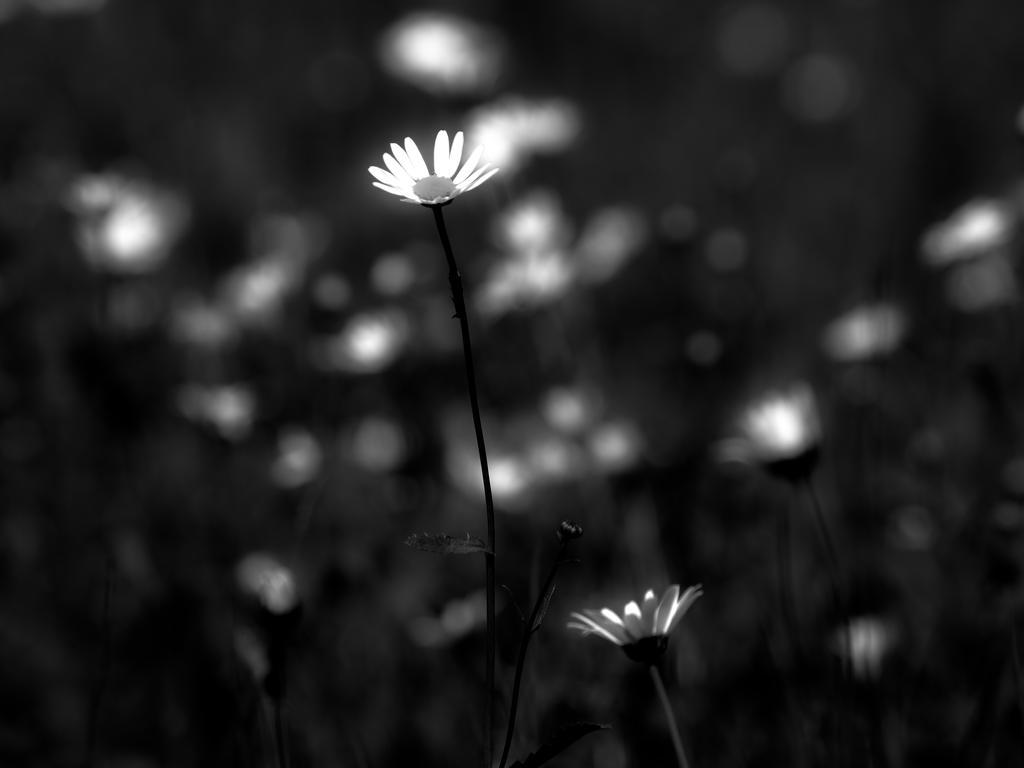 daisy by Livath