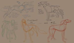 Saluki Anatomical Study