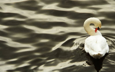 Swan in Prague by PatrikEffect