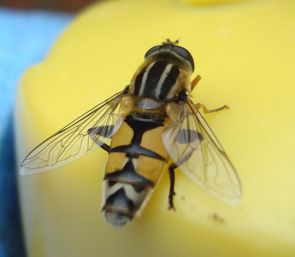 wasp by WesleyGuijt