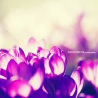 purple hallow by onixa