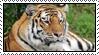 Tiger by Skylark-93