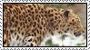 Amur Leopard by Skylark-93
