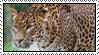 African Leopard by Skylark-93