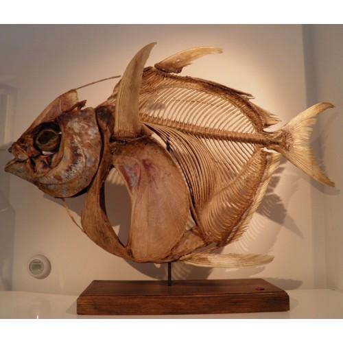 Opah kingfish skeleton by Museumwinkel on DeviantArt Oarfish Skull