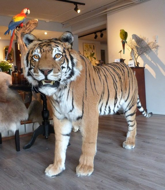 Taxidermy Tiger Rug For Sale: Big Kitty! Tiger Taxidermy For A Customer! By Museumwinkel