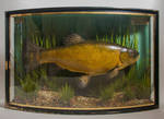 Cooper antique Fish Taxidermy by Museumwinkel