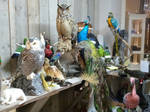 Lots of taxidermy work ready!