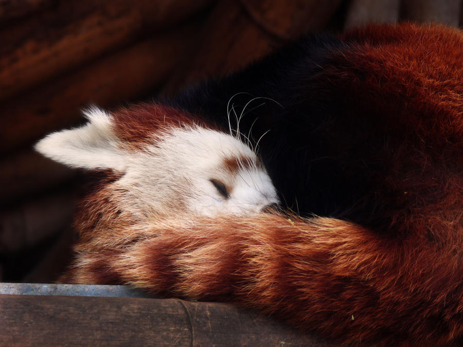 Red Panda I by AlexB-Photography