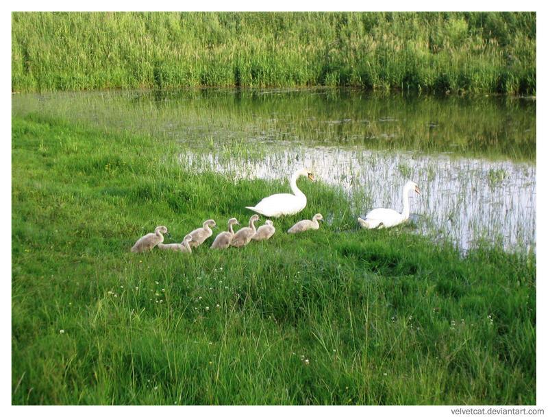 Swans by velvetcat