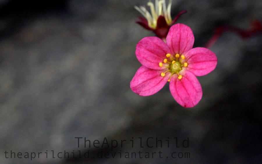 Pink Flower by TheAprilChild