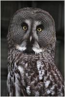 The Great Grey Owl by la-niebla