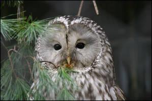 Ural Owl by la-niebla
