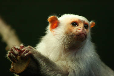 The Silvery Marmoset by la-niebla