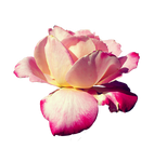 Pink Rose Stock PNG